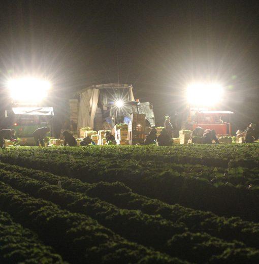 Récolte nocturne de salades