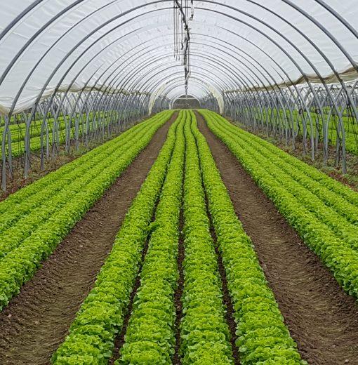 Les salades sous tunnel